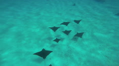 Tropical Paradise a fever of Eagle Sting Rays swimming off Bora Bora Island in Stock Footage