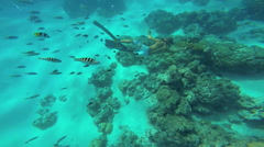 Bora Bora, French Polynesia - June 2016: Diver swimming among tropical fish in Stock Footage
