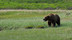 A predatory Alaskan Wild Brown Grizzly Bear living on the Katmai Peninsula Stock Footage