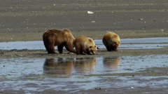 Family of young Alaskan brown bear cubs with their mother on Katmai Peninsula Stock Footage