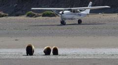 Alaska, USA - September 2016: Young cubs with Alaskan mother Brown Bear Katmai Stock Footage