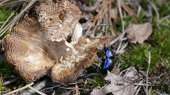 Beetle eating a rotten mushroom Stock Footage