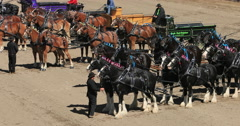 Gentle Giants Draft Horse and wagon competition DCI 4K Stock Footage