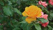 Beautiful yellow rose in garden, close-up shot Stock Photos