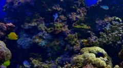 4K Tropical Fish in Aquarium Tank, Algae Covered Rock and Colorful Fish Stock Footage