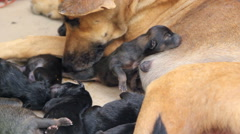 Puppies sucking milk from mother dog breast Stock Footage
