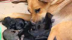 Puppies with mother dog Stock Footage