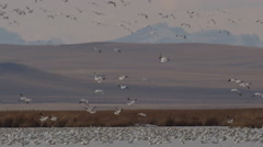 Slow motion - snow geese flocks leave with mountain backdrop Stock Footage