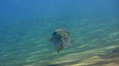 Great barracuda (Sphyraena barracuda) hovering over sand Stock Footage