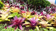 A variety of bromeliad in the garden, Thailand Stock Footage