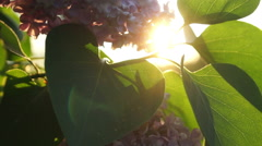 Lilac bush with flowers and leaves through which shines the evening sun Stock Footage