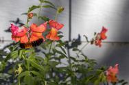 Caterpillar crawling across bright snapdragons Stock Photos