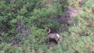 Ram in ravine, Zion National Park , Sept 2016 Stock Footage