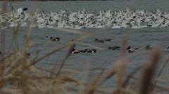 Slow motion - american shoveler ducks swim in water near geese Stock Footage