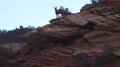 Sentry silhouette, Zion National Park, Sheep Stock Footage
