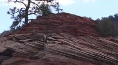 Lone sheep sentry, Zion National Park , Sept 2016 Stock Footage