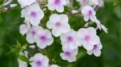 Large inflorescences of white varietal phlox Stock Footage