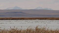 Snow geese resting in open water of Montana marsh Stock Footage