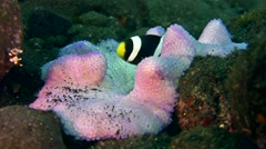Panda clownfish (Amphiprion polymnus) in purple anemone Stock Footage