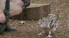 4K Eagle owl at a conservation center being fed by keeper Stock Footage