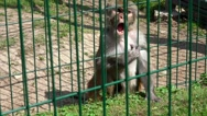 Poor monkey animal under fence in zoo Stock Footage