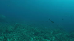 Silvertip Shark on a coral reef. 4k Stock Footage