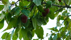 Woman collects a plum from a tree, a female hand, harvesting, close-up. Stock Footage