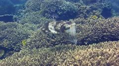 Broadclub cuttlefish (Sepia latimanus) laying eggs between coral Stock Footage