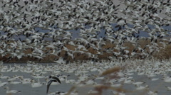 Slow motion - thousands of snow geese hover over marsh Stock Footage