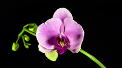 Time Lapse - Blooming Flower of Pink Phalaenopsis Orchid Stock Footage