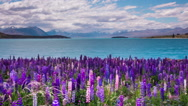 Time Lapse - Beautiful Lupine Flowers by Lake Tekapo, New Zealand Stock Footage