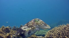 Broadclub cuttlefish (Sepia latimanus) laying eggs between coral Stock Footage