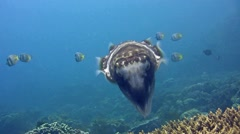 Broadclub cuttlefish checking for a place to lay eggs between coral Stock Footage