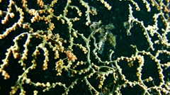Denise pygmy seahorse (Hippocampus denise) Stock Footage