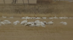 Through grass close on snow geese feeding in field Stock Footage