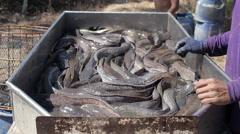 Thai Fisherman Sorting River Fish Stock Footage