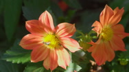 Fly on dahlia flower, macro Stock Footage