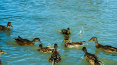 Flock of Mallard Ducks and Drakes Swimming in the Lake. they eat bread. Stock Footage