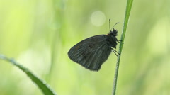 Butterfly on grass at morning with soft background Stock Footage