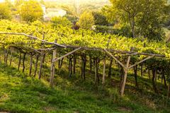 Sunset over vineyard Stock Photos