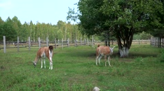 Two lamas walking in the zoo Stock Footage