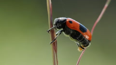Male of beetle laying eggs Stock Footage