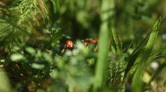 Spurge Hawk-moth caterpillar eating spurge Stock Footage