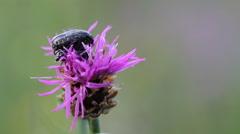 Two bugs meetings on flower (Tropinota hirta) Stock Footage