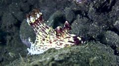 Jorunna rubescens sea slug Stock Footage
