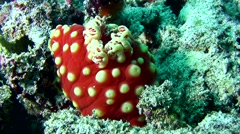 Gymnodoris aurita sea slug Stock Footage