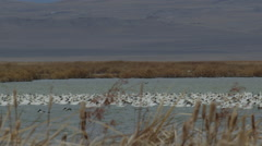 Slow motion pan of raft of snow geese in windy marsh in Montana Stock Footage