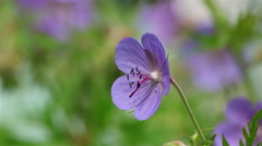 Blue geranium flower Stock Footage
