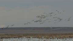 Knot of snow geese landing among thousands in marsh Stock Footage