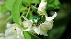 Green chafer bug Stock Footage
